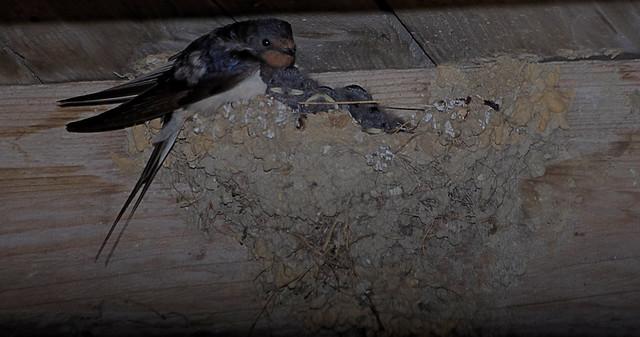 Jeunes hirondelles au nid, les parents veillent
