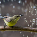 Female Beautiful Sunbird with water droplets