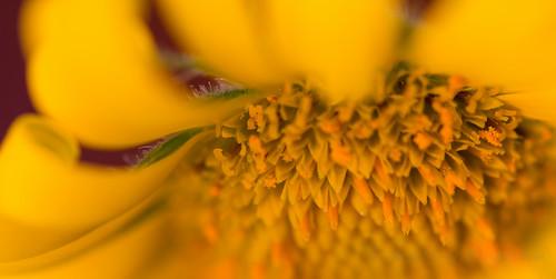 Sunshine in a flower by nifwlseirff