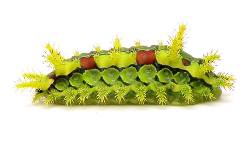 Spiny Oak Slug