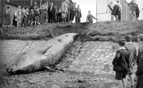 Stranded Whale in Manchester Ship Canal 1953