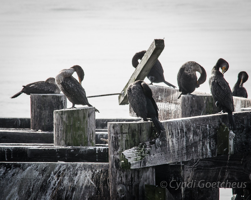 cormorants in fog