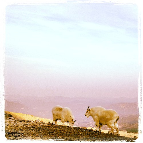 Mountain Goats by @MySoDotCom