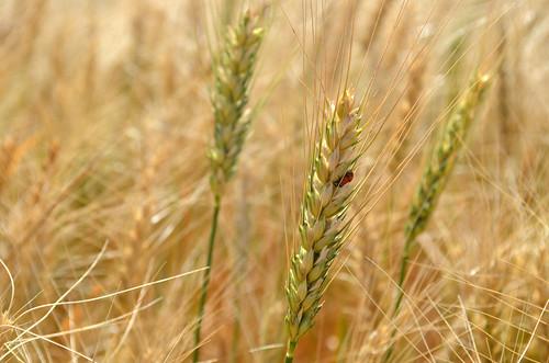 The Hazleton wheat isnt quite ready yet