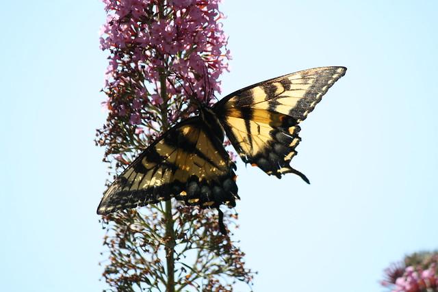transluscent tiger swallowtail