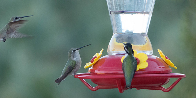 Costa's Hummingbirds-1080116