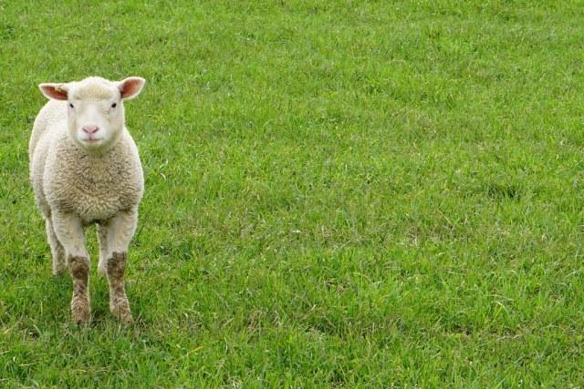 Handsome Lamb Tag
