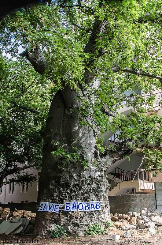 baobab tree haatiyan ka jhad hyderabad