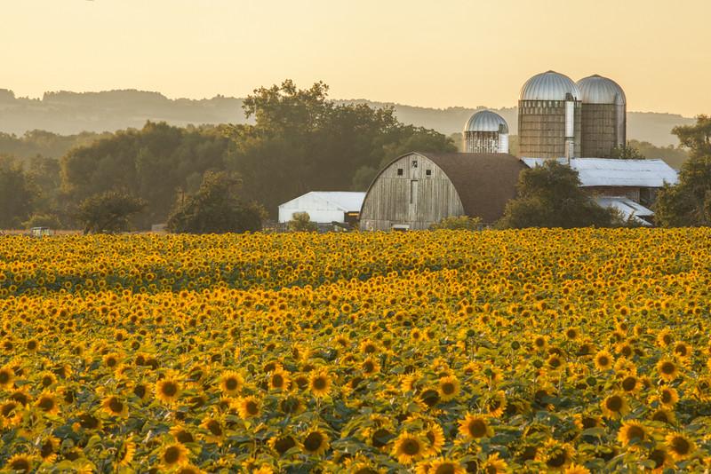 Sunflower Evening
