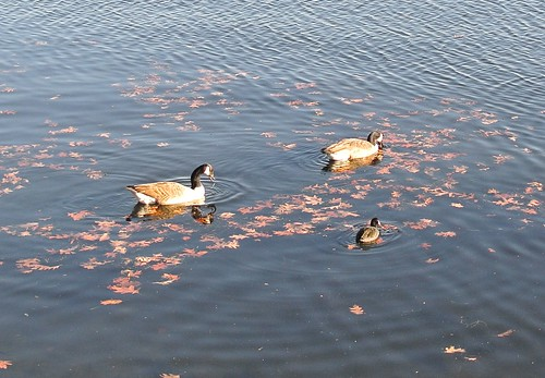 Two geese and one coot