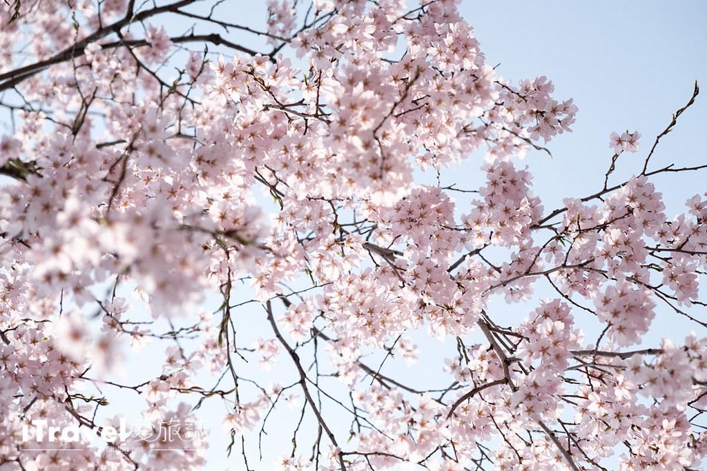 首尔赏樱景点 乐天塔石村湖 (19)