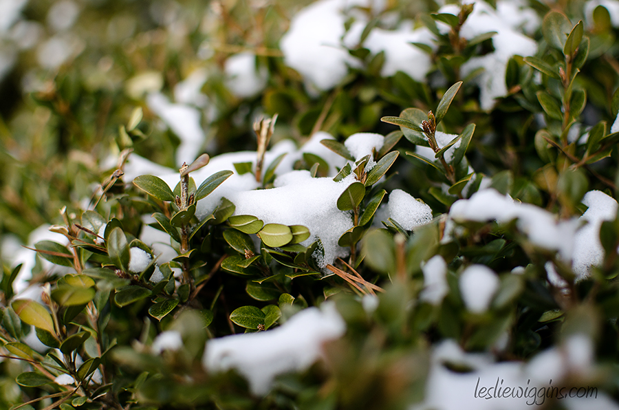 Leslie Wiggins photo snow on shrubbery