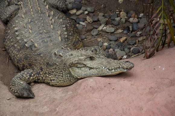Smiling croc