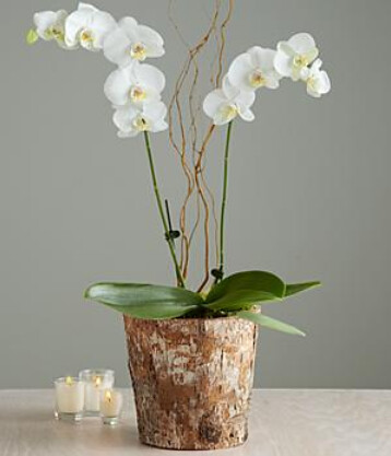 Pro Flowers Orchid