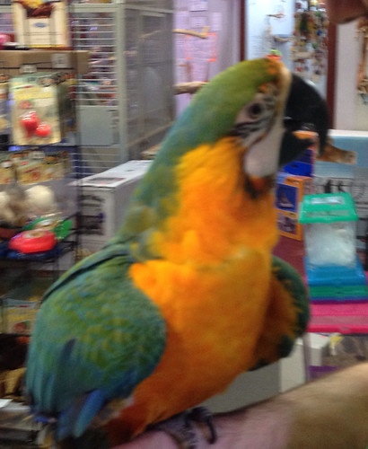 Catalina mini macaw (blue and gold and scarlet macaw hybrid).