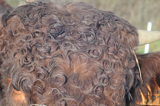 bull curls
