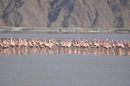 Visita de flamencos rosados al Dique de Relaves