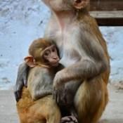 India - Uttar Pradesh - Mathura - Street Life - Monkeys - 2.