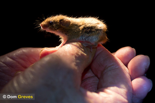 Harvest mouse at night