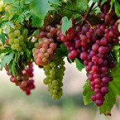 nature-beautiful-grapes-high-definition-full-screen-wallpaper-image-download