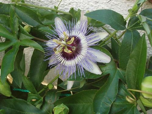 201305250009_Passion-flower_Vga
