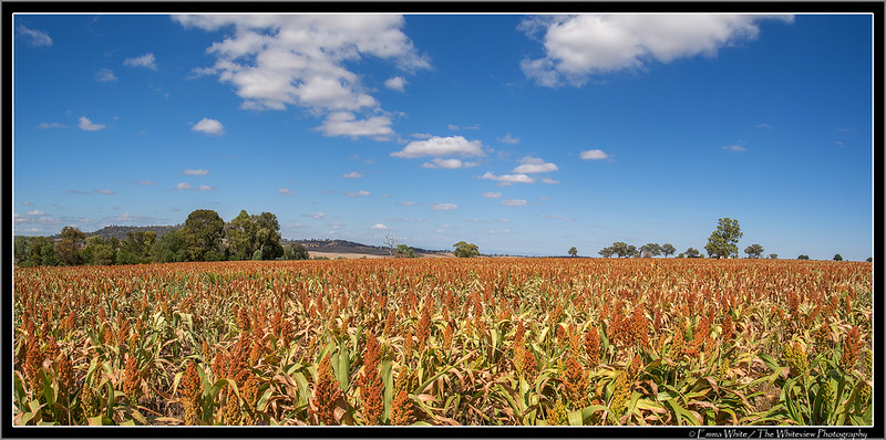 Fields of Sorghum
