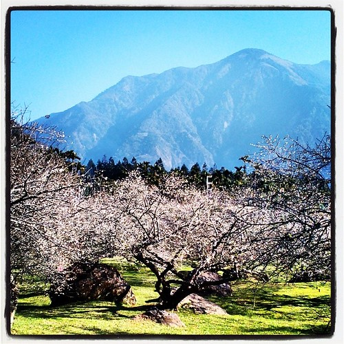 Plum Blossoms in Nantou's Xinyi Township. #taiwan #nantou