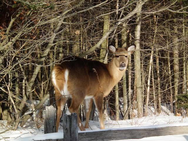 Deer at Mont Tremblant