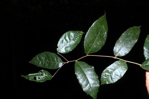 Trophis scandens DSC_0850