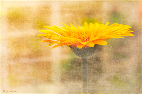 Yellow gerbera image with gobo lighting