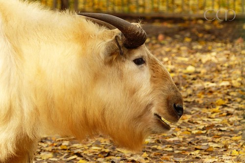 Golden Takin in golden autumn...