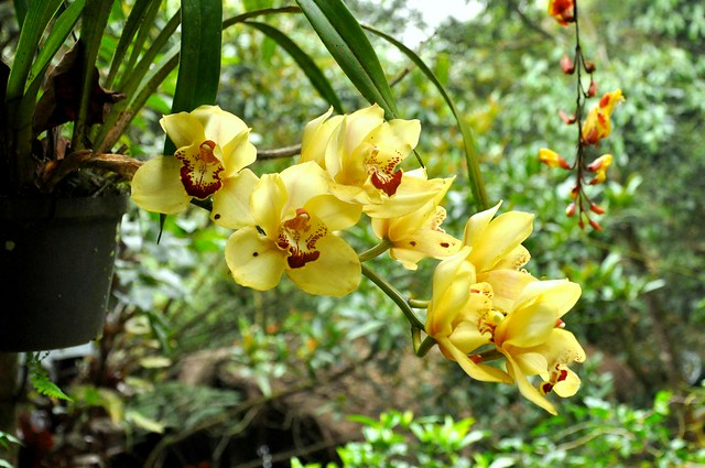 Sunshine Orchids