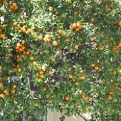 orange tree wide wallpapers