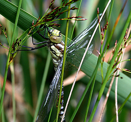 Southern Hawker Aeshna cyanea Tophill Low NR, East Yorkshire June 2013