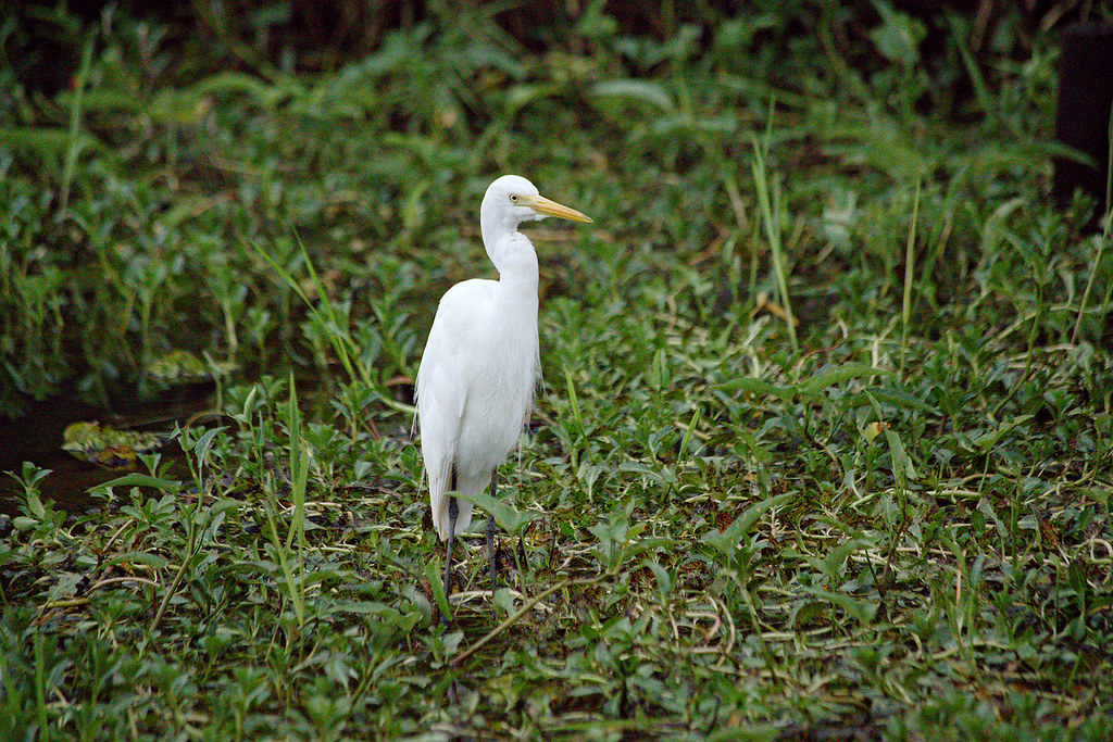 Intermediate Egret.
