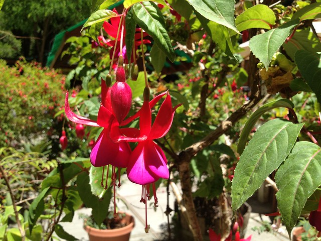 Red and pink Fuschia flowers