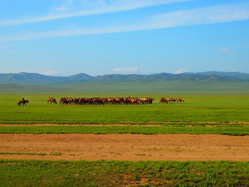 Camels - Mongolia
