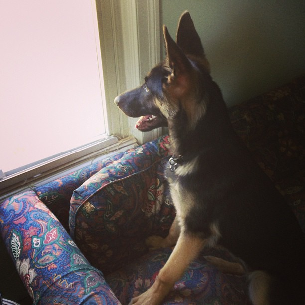 On squirrel patrol. #fosterpuppy #trina #gsd