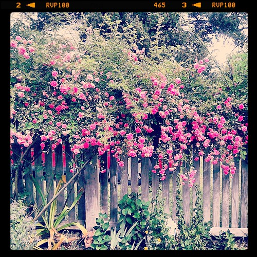 Front fence full of roses