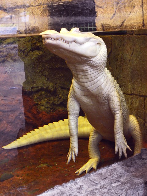Snowball, the White Alligator