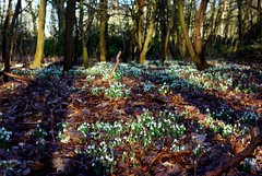 IMGP2102_Coombe Country Park - Drifts of Snowdrops_By Craig