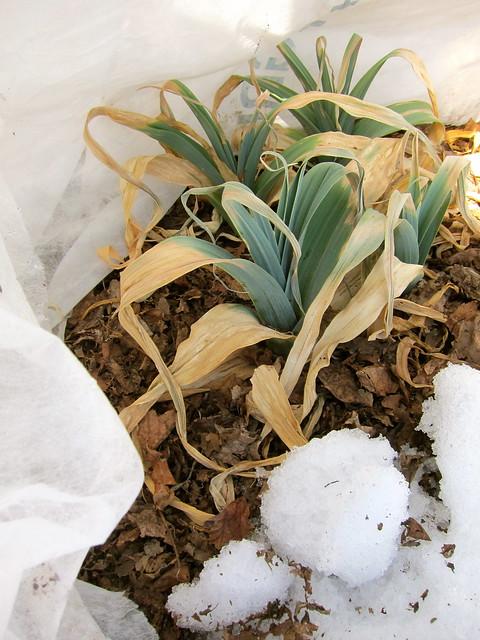 3.17.14 Winter Leeks and Ice-Bred Arugula