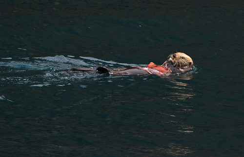a Sea Otter floating in calm waters, eating an octopus.