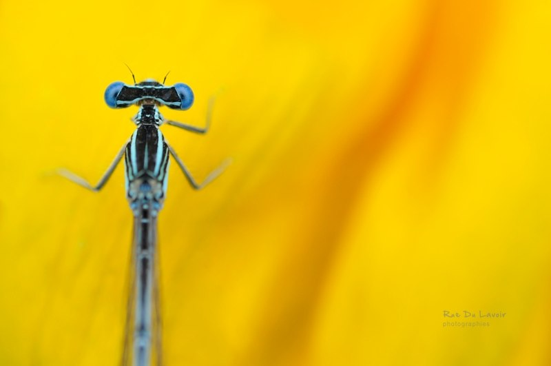 Dragonfly from Rue Du Lavoir