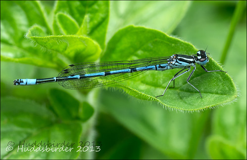 Azure Damselfly Male