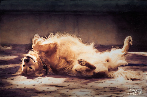 Image of a Golden Retriever lying on his back in the sun