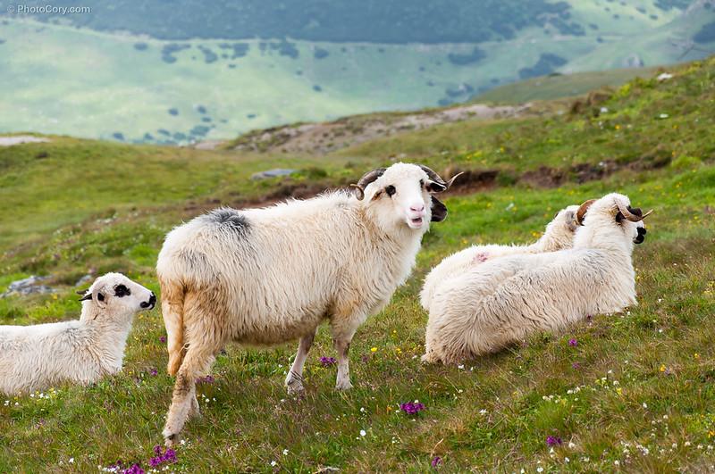 Sheep in Bucegi, Romania