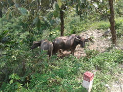 Water buffaloes grazing in forest in Northwest Vietnam