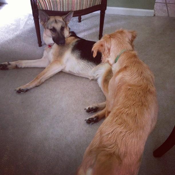 Too lazy to play? #pyrrhagram #georgiadog #puppylove