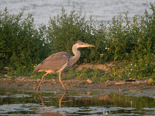 Grey Heron-summers evening